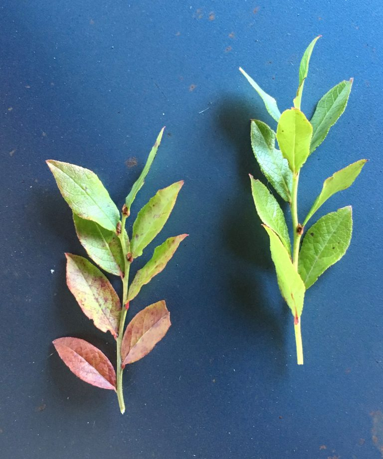 16. Foxberry leaves